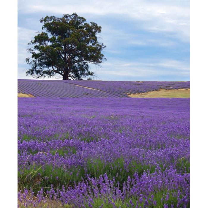 Tuinschilderij lavendel halve parasol - Hang een doek ...