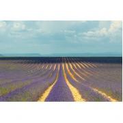 Lavendel veld II